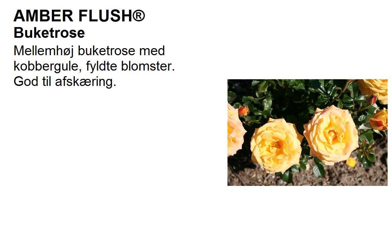 Amber Flush
