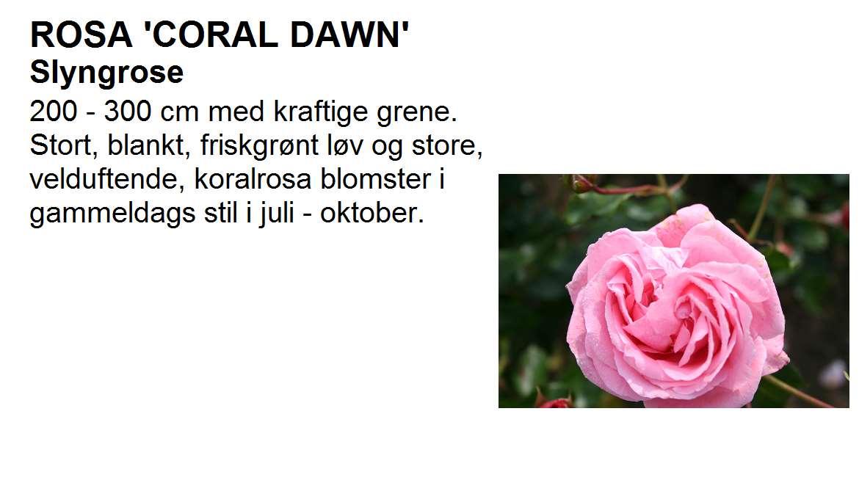 Coral Dawn