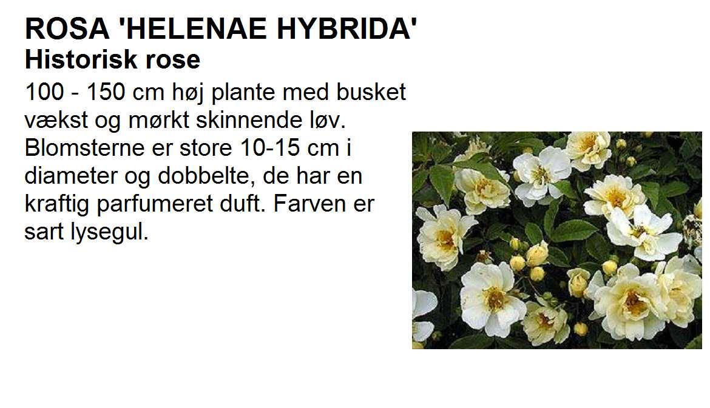 Helenae Hybrida
