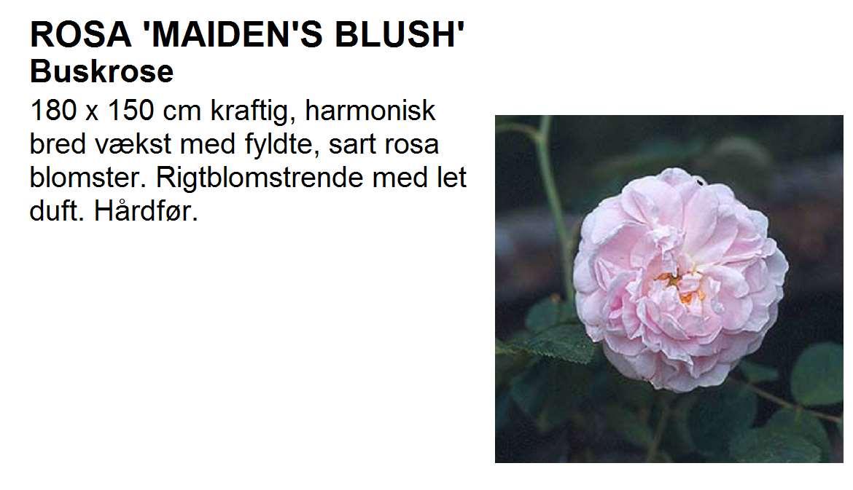 Maidens Blush