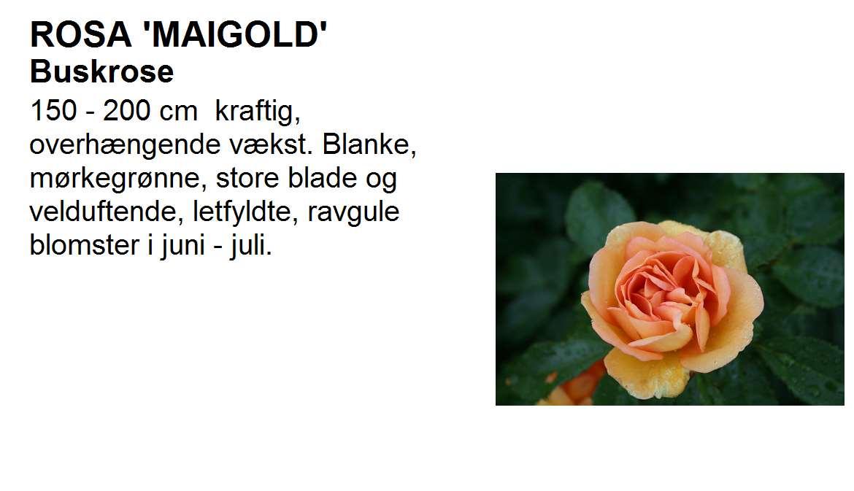 Maigold