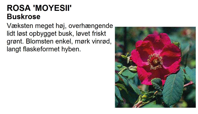 Moyesii
