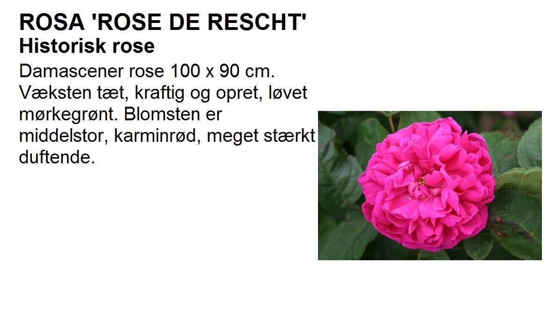 Rose de Recht