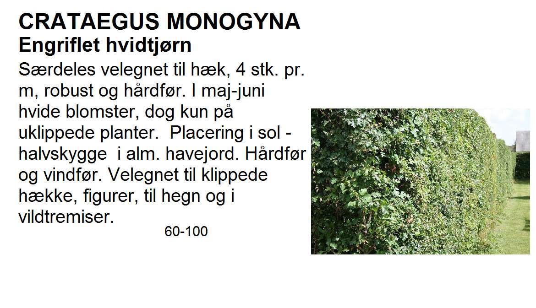 Crataegus Monogyna