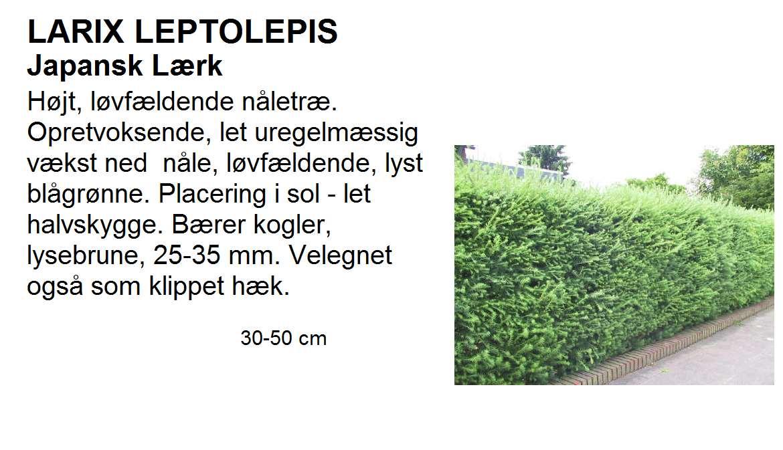 Larix Leptolepis
