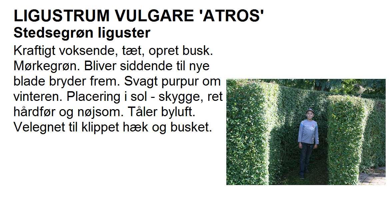 Ligustrum Vulgare Atros