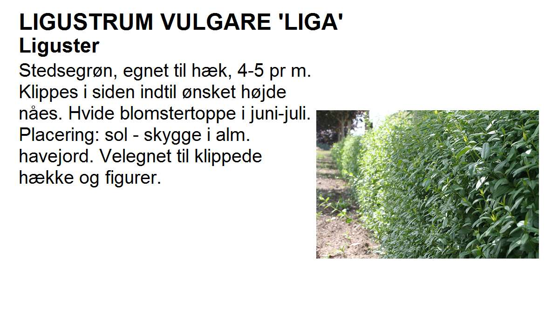 Ligustrum Vulgare Liga