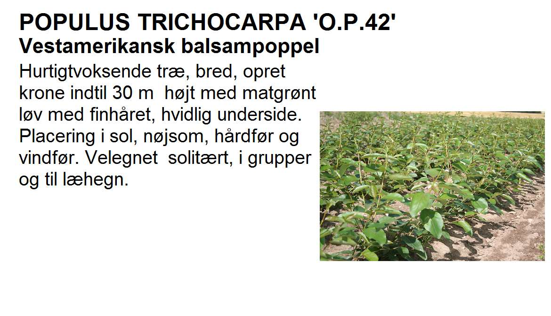 Populus Trichocarpa op42
