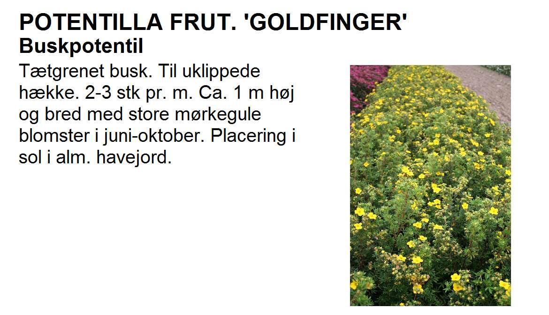 Potentilla Frut Goldfinger