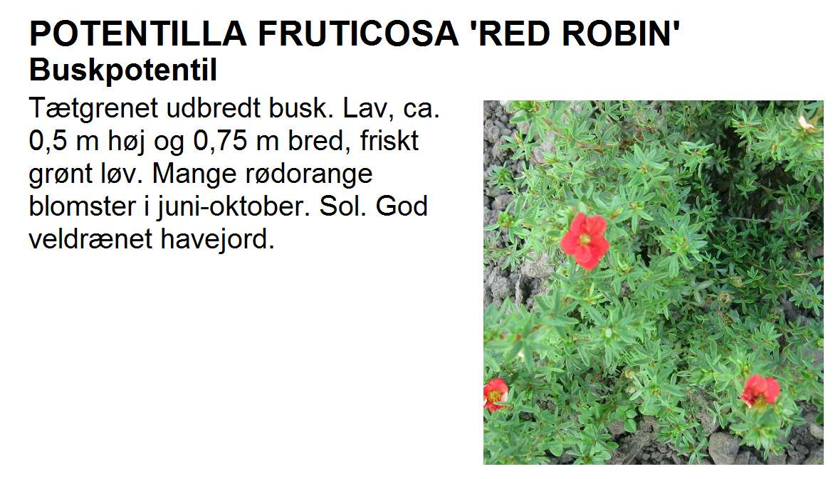 Potentilla Frut Red Robin