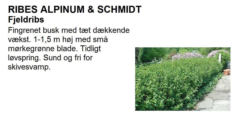 Ribes Alpinum & Schmidt