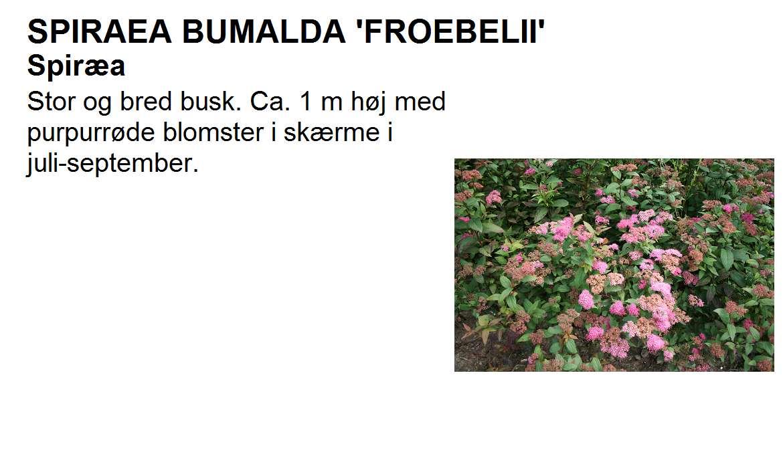 Spiraea Bum Froebelii