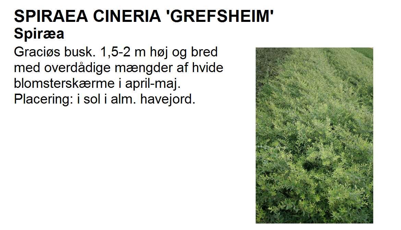 Spiraea Cineria Grefsheim
