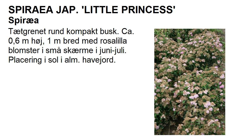 Spiraea Jap Little Princess