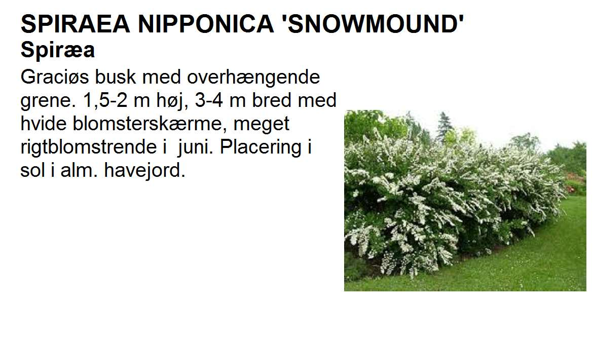Spiraea Nipp Snowmound
