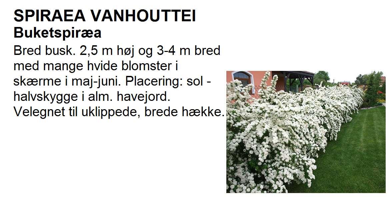 Spiraea Vanhouttei
