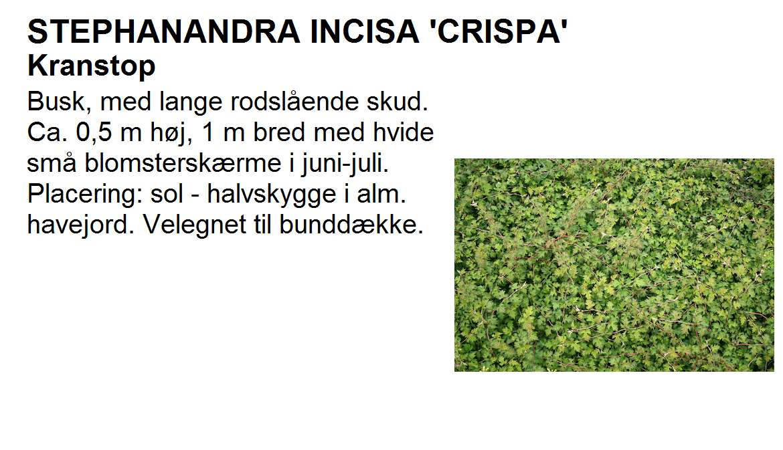 Stephanandra Incisa Crispa