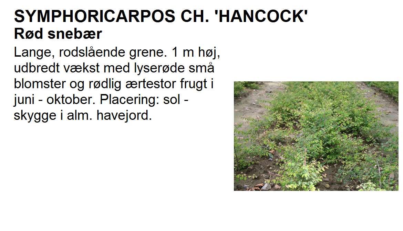Symphoricarpos Ch Hancock